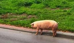 Kiedyś świnie z Radoczy grały w piłkę i były słynne na całą Polskę!